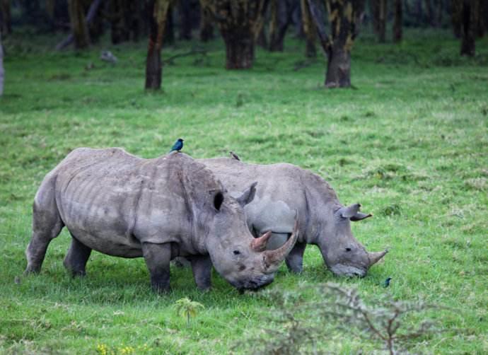 005 有趣的动物共栖现象(犀牛与小黑鸟,鳄鱼与燕千鸟